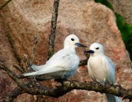 ptaki na Seszelach - Aride